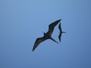 Frigatebirds flying high above the boat