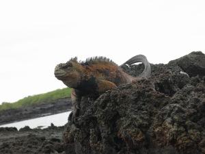 Angry looking marine iguana