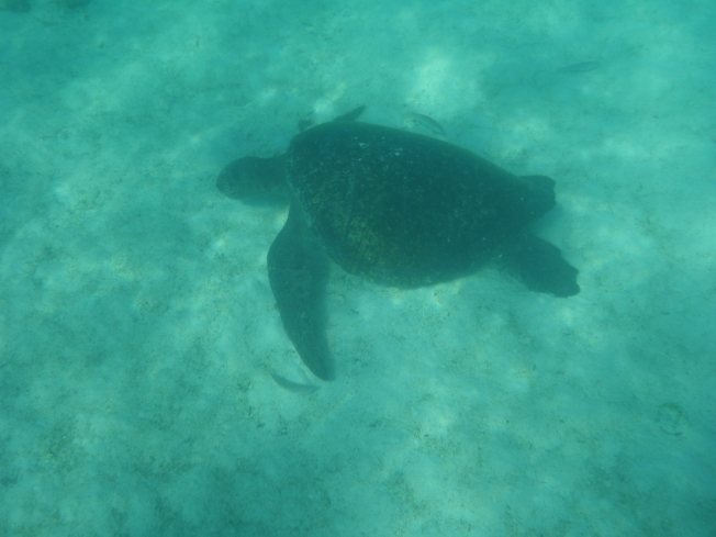 A beautiful turtle meandering its way along the sea floor
